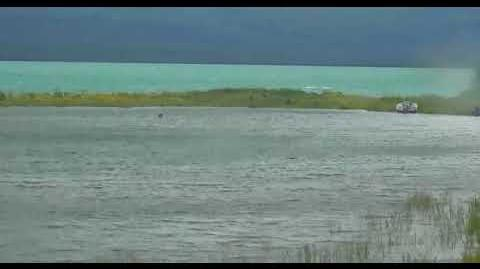 451 and yearlings up spit road then swim across boat cove 7 23 2018 by LaniH