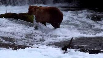 Brown Bear licks his lips at Brooks Falls, video by MSO Belle, 6 29 2015 or prior