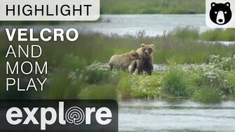 Brown Bears Velcro and Mom Play - Katmai Alaska - Live Cam Highlight (273 & 809)