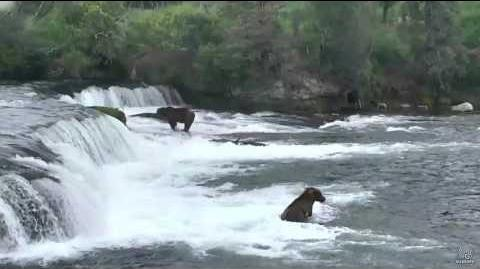 83 Wayne Brother and who 07 03 2017 16 27 video by Mickey Williams (aka MickeyKay). 83 Wayne Brother is the lighter of the two bears that moves between fishing near the log in the middle of the river below the falls to the jacuzzi