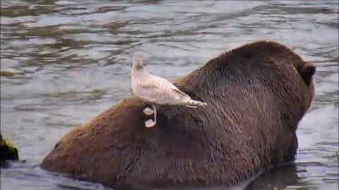 2017-10-01 Gull lands on Bear 68 while he is eating a fish! video by birdnerd57