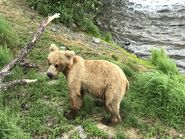 INFO BEARS SEEN 2018.06.19 19.44 SUBADULT BELOW BF PLATFORM RANGER JEANNE 2018.06.19 19.44 COMMENT PHOTO ONLY