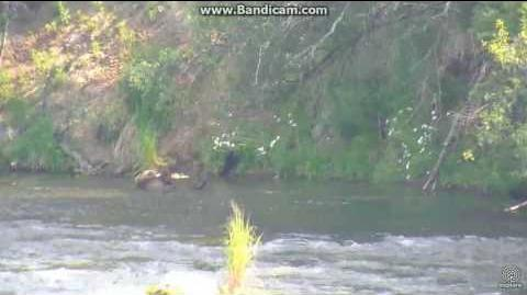 Bear 505 relaxing at falls Brooks Falls 2017 07 14 video by Erum Chad (aka Erie)