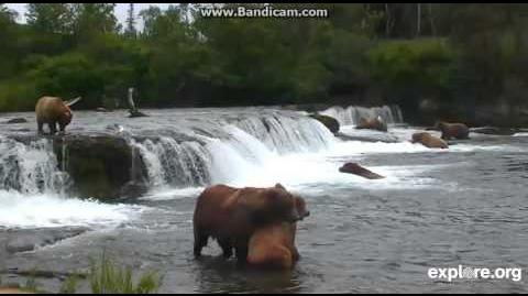 Explore org Bearcams Brooks Falls 07-12-2015 856 courting who (? 289 maybe) video by Martina