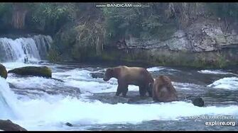 BEARS FIGHTING AT BROOKS FALLS, KATMAI NATIONAL PARK, ALASKA, video by Joni Tilley
