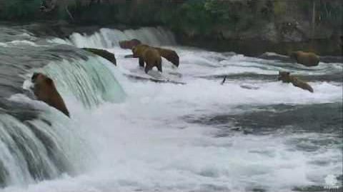 505 Bear graceful landing 2016-07-09 video by Erum Chad (aka Erie)