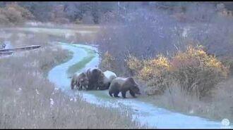 Bear 132 and 3 yearlings Brooks River Katmai National Park 10-11-15