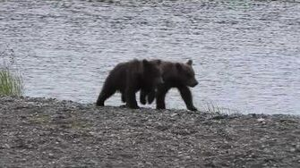 Brooks Fall Bear Cubs, 708 Amelia's 2 spring cubs, 2019 video by iceox
