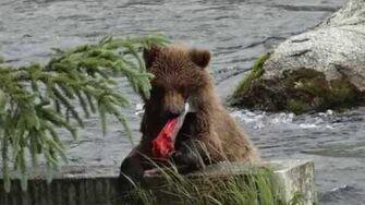 Brooks Falls Alaska, video by Jimmie Robinson