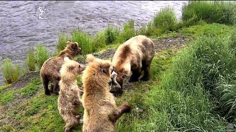 Grazer 128 and her cubs get a feast! Brooks Falls cam. 06