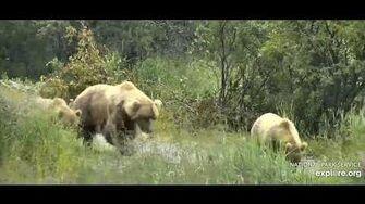 Maybe 39 and yearlings close up July 17th 2020, video by Ratna Narayan