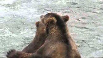 Brown Bears Sparring by Brooks Falls 2010 Season or Prior by Robert Finer