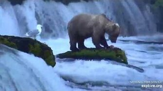 128 Grazer at the falls enjoying some salmon 2019.06