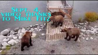Keeping up with the Brown Bears 610, 2014-2019, video by Deanna Dittloff