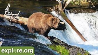 Meet Bear 854 Divot - Bears of Brooks Falls by Mike Fitz, Resident Naturalist with Explore