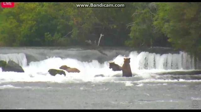 503 & 719 are Joined in the Far Pool by the Little Lip Fisher 8 26 17 Brooks Falls, Katmai by Birgitt
