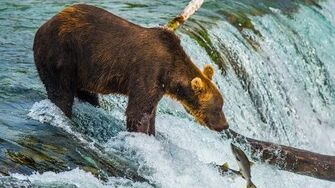 Brown Bears at Katmai National Park, Brooks Falls Mother with Cubs Niedźwiedzie na Alasce , video by Tomasz J
