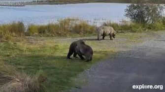Holly's cubs at play, 09 27 2014 video by Joe Bear
