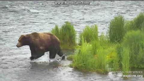 Please id bear 6 25 18 Unknown Boar by Ratna