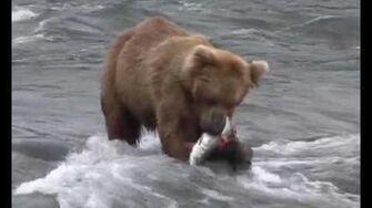 Brown Bears of Katmai 2006, video by Carol Moraga-1