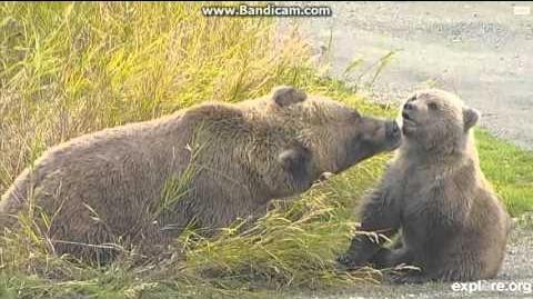"Explore org bearcams 273 cub ""Velcro"" 09-24-2015 video by Martina"