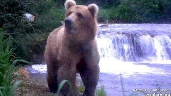 Grazer (128) enjoying Brooks Falls! Katmai Brown Bears. 23