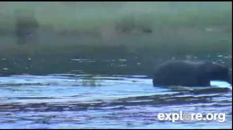 Katmai Park Lower River Big Bear Visit 8 26 14 video by jbirdyhome