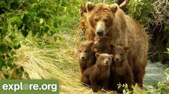 Meet Bear 402 - Bears of Brooks Falls by Mike Fitz, Resident Naturalist with Explore