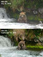 OTIS 480 PIC 2014.07.23 vs 2014.09.12 NPS PHOTOS 2014 FAT BEAR CONTEST