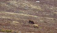INFO BEARS SEEN 2015.05.20 COURTING BEARS ON DM POPEYE 634 DARKER BEAR IN CENTER