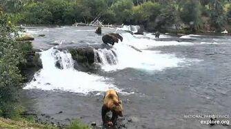 """hump"" bear pirates salmon from 854 Divot 8 8 2019 by Lani H"