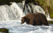 TED 489 PIC 2013.08.24 NPS PHOTO FROM KATMAI TERRANCE BLOG PREVIOUSLY ON BEARCAM 2015.06.23
