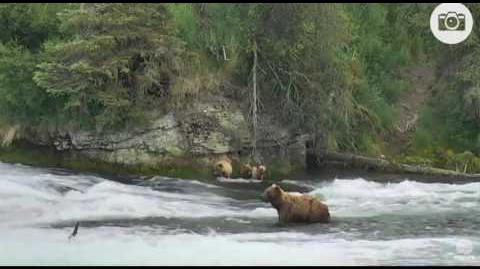 Katmai National Park and Explore 5 57 PM AKDT 402 & 3 yearlings by Mickey Williams
