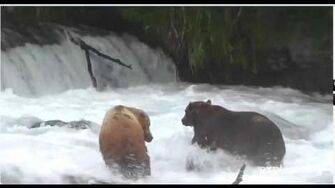 Brooks Falls Grizzly spar for the best spot August 3, 2012 by Charlie Hilliard (747 & 218 Ugly)