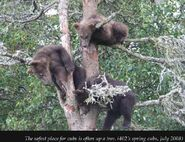 402 PIC 2008.07.xx 3 SPRING CUBS TREED 2012 BoBr