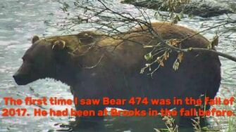 Journey's End, Bear 474 of Brooks River, video by Green River