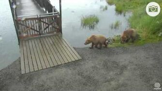 7 11 pm 072216 708 Amelia and cubs Katmai National Park and Explore by Mickey Williams