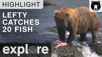 Lefty Catches 20 Fish In His Feeding Frenzy - Brooks Falls - Live Cam Highlight, video by Explore Bears and Bison