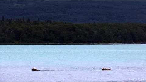 Courting Pair in Lake Naknek July 1, 2015 by Mso Belle-0