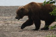 INFO BEARS SEEN 2015.06.11 07.45 BL FB 856 TAKING STROLL KARA STENBERG PIC