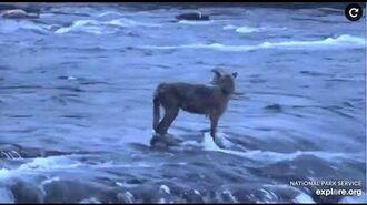 Wolf fishing July 4, 2020 by May B