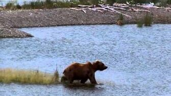 Female Bear continues to play in the river, video by MSO Belle, 6 29 2015 or prior