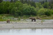 INFO BEARS SEEN 2015.06.02 HOLLY 435 w HER YEARLING CUB & 503 2.5 Y O ADOPTED CUB RMIKE FEATURED COMMENT PIC 02