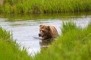 INFO BEARS SEEN 2017.06.21 APPROX 10.54 410 RDAVE COMMENT 2017.06.21 11.09 PIC 02 ONLY