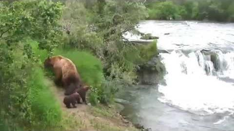 Katmai National Park Bears Mother Protects Her Cubs at Brooks Falls