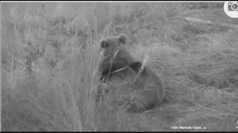 Explore org Katmai Lower River Cam Mother Nursing Cub 273 & 809 September 29, 2016 by Susan Tunstall-0