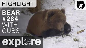 Mom Bear And Cubs Crash The Party - Brown Bears Live Cam Highlight 10 22 17 Explore highlight video-0