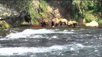 3;00pm 7-6-17 39 (not 171) and cubs catching their own fish Katmai National Park and Explore, video by Mickey Williams