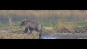 Bear 831 Salt LR Brooks Falls Katmai 2018 10 05, video by Erum Chad