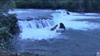 Grazer and her cubbies, and skirmish with 747. Brooks Falls cam